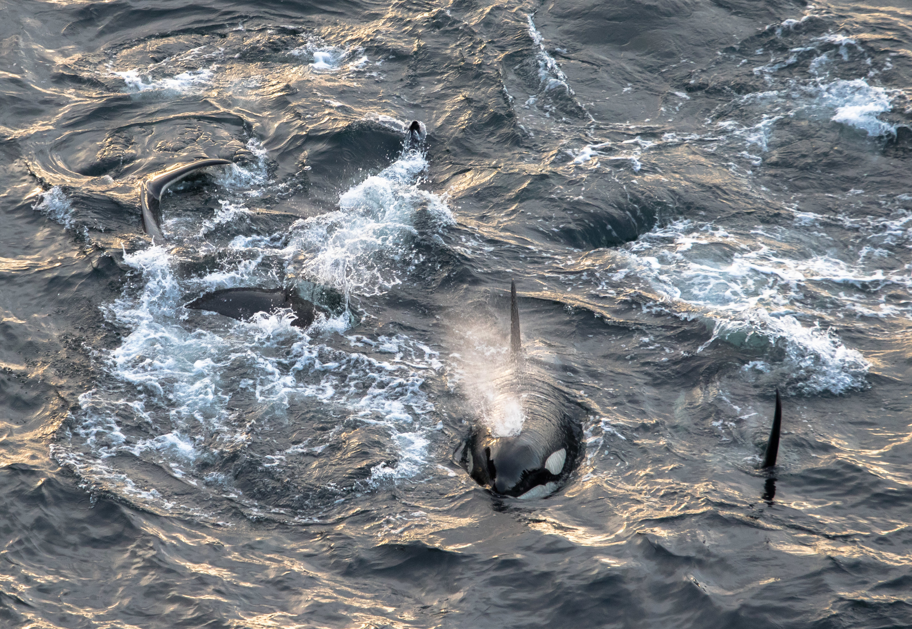 The pod of killer whales at sea