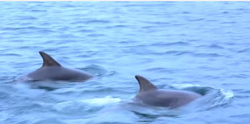 The two dolphins swam alongside the canoe