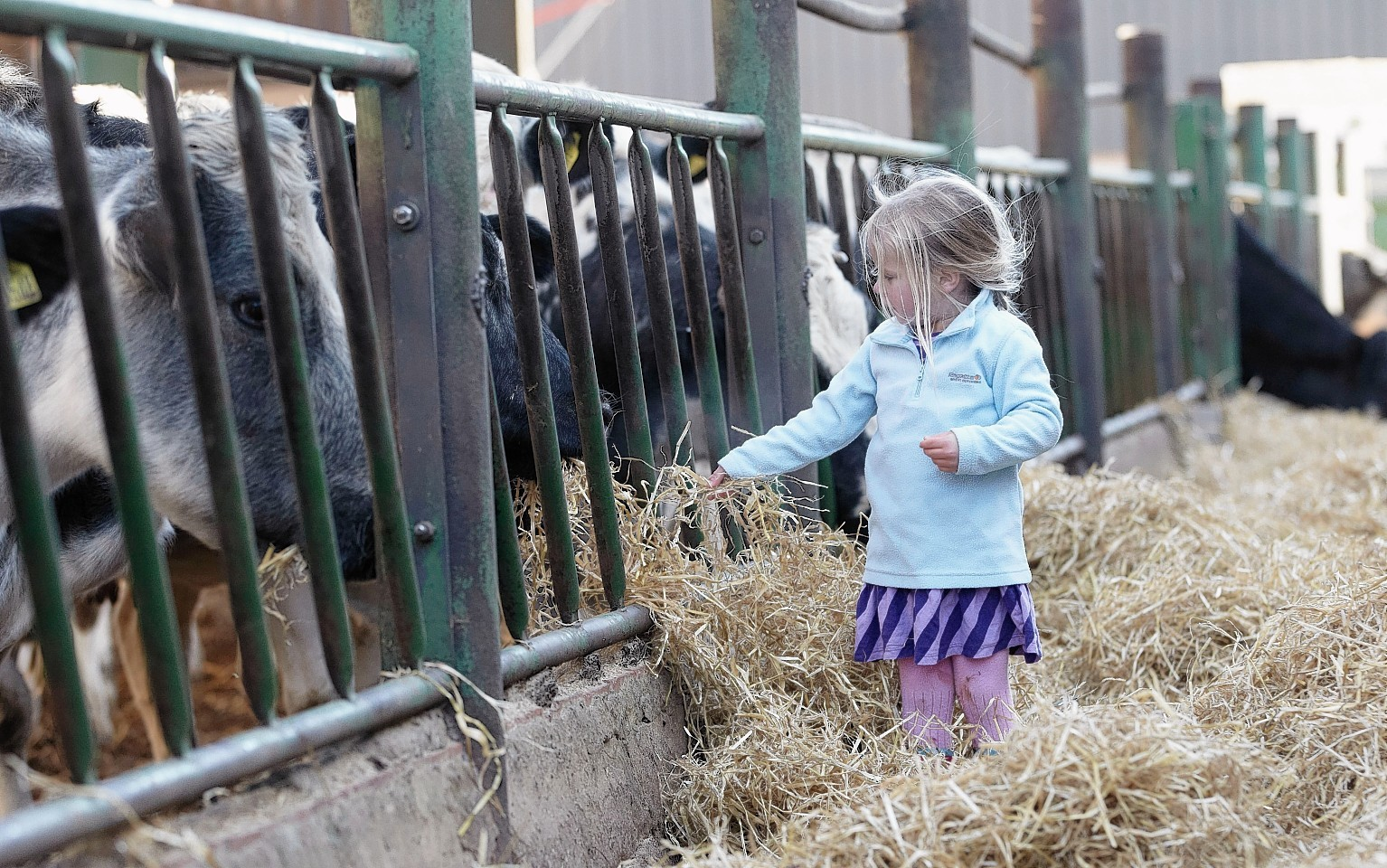 A child feeds cattle at an Open Farm Sunday event