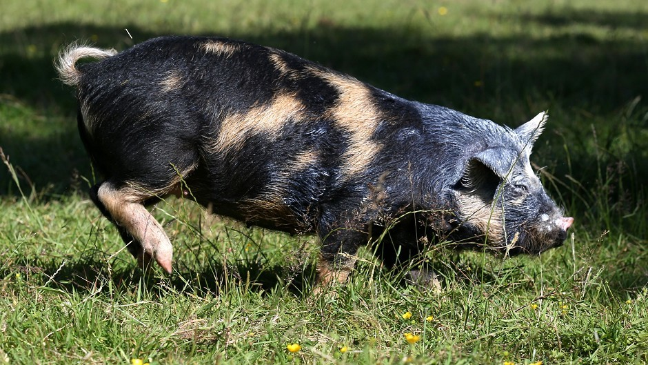 Experts warn leaving the EU could put UK pig health at risk