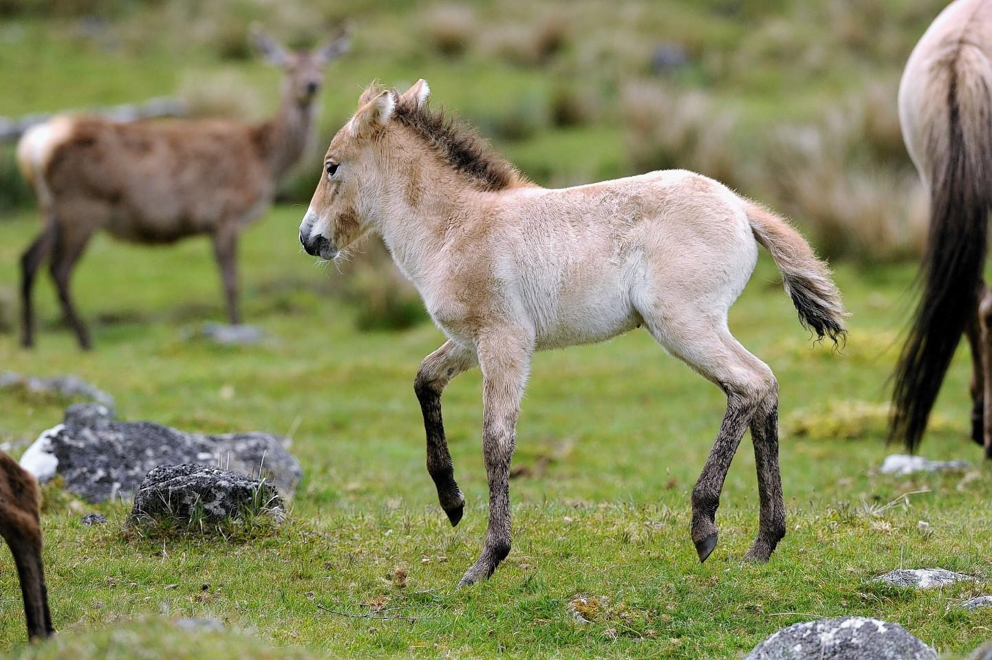 The newborn Przewalski's foal