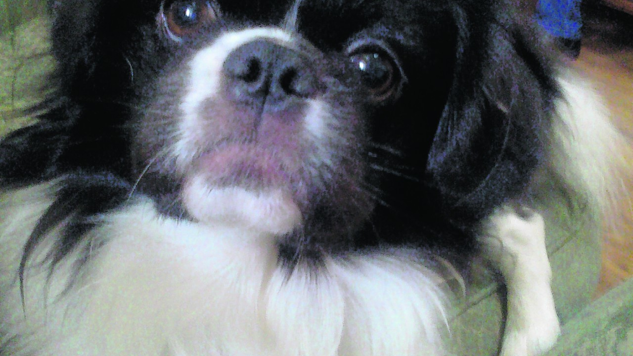 Alfie the seven-year-old shih tzu lives with Sandra Morrison in Nairn.