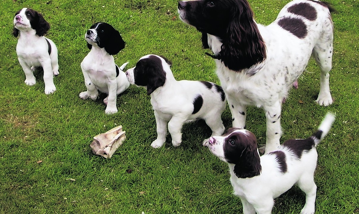 Jay Jay, a springer spaniel, and her puppies live with Phil and John Lewis in Cults Aberdeen.