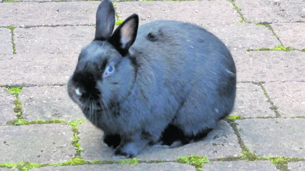 This is Pluto. She is a four year old Netherlands dwarf bunny.  She belongs to Andrew Mowatt of Aberdeen.