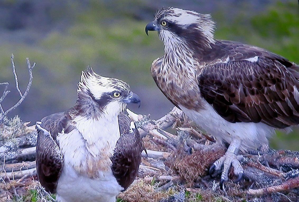 Ospreys EJ and Odin at the Loch Garten nest