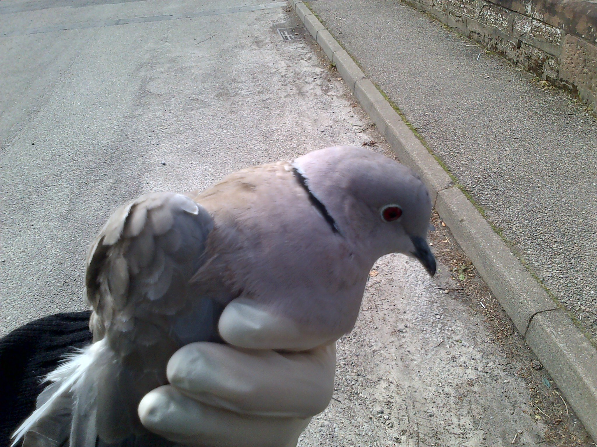 The dove was rescued from a lantern in Evanton