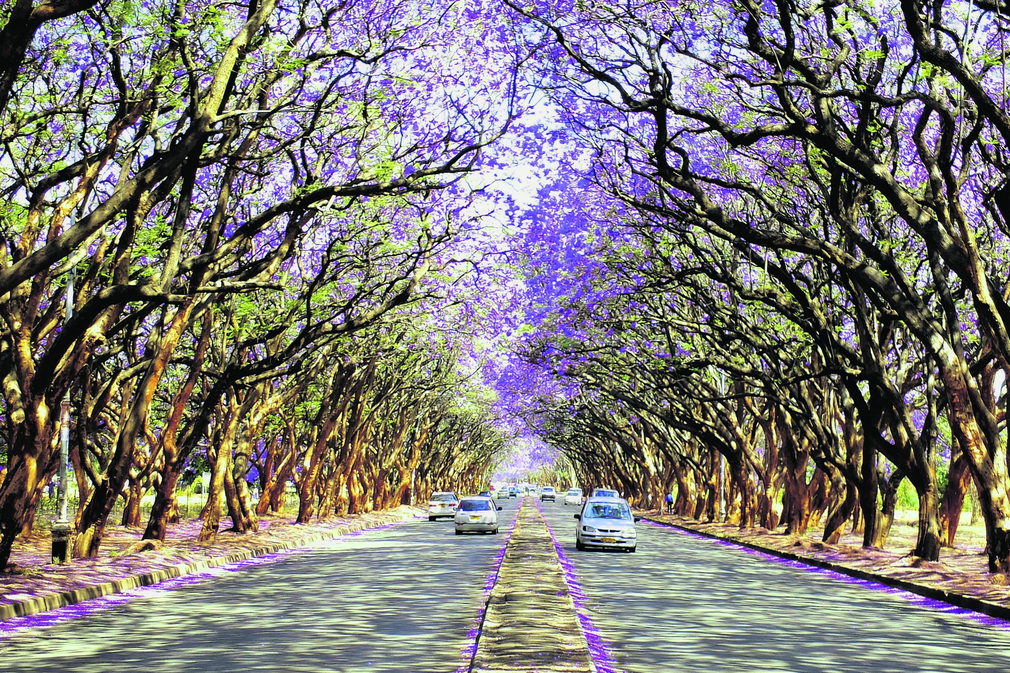 Blooming Jacaranda trees on the streets of Harare, Zimbabwe
