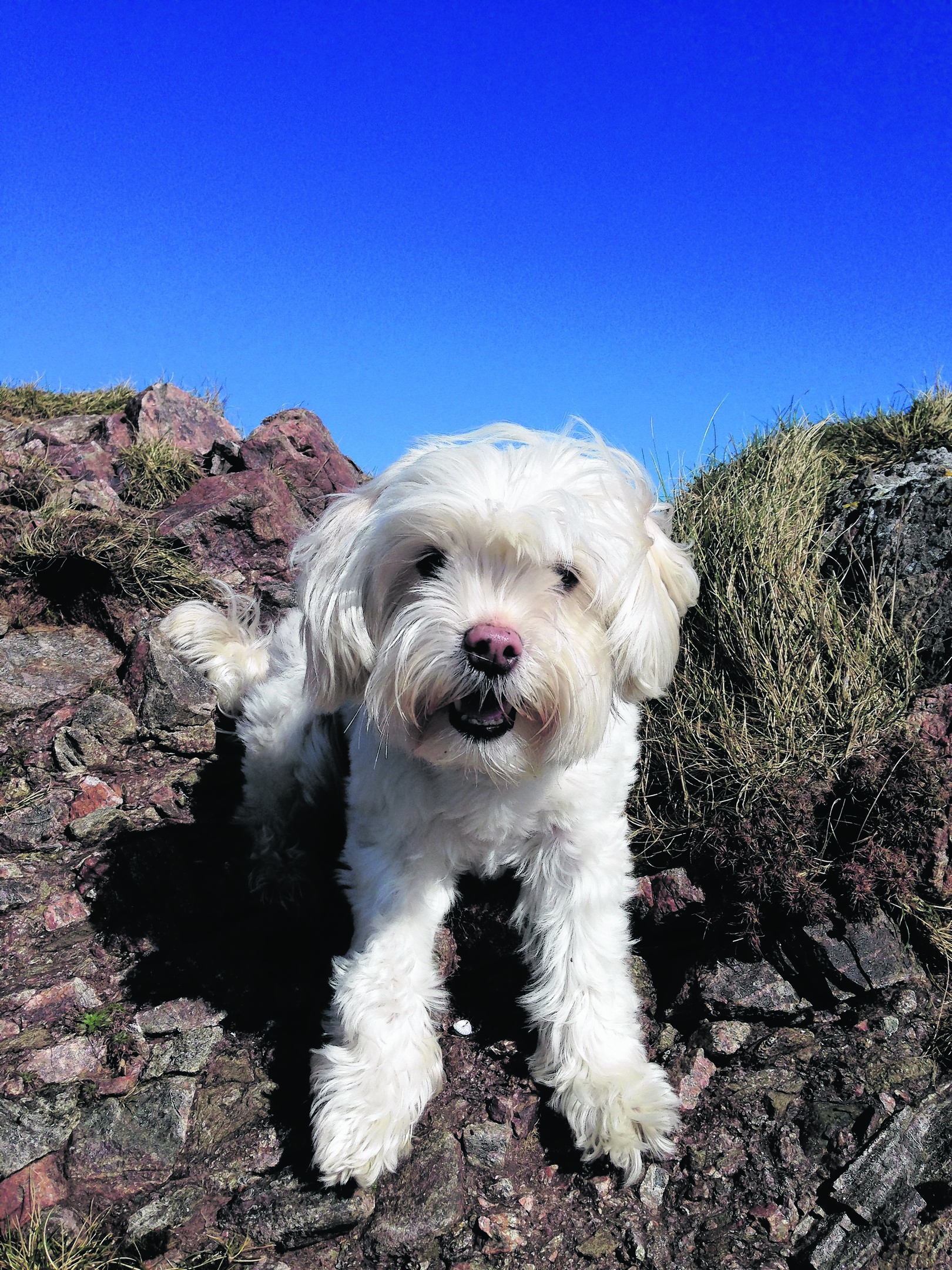 This is Creed, a Lowchen who lives with his family on Isle of Lewis. Creed is nine years old but is still just like a puppy, true to the Lowchen breed