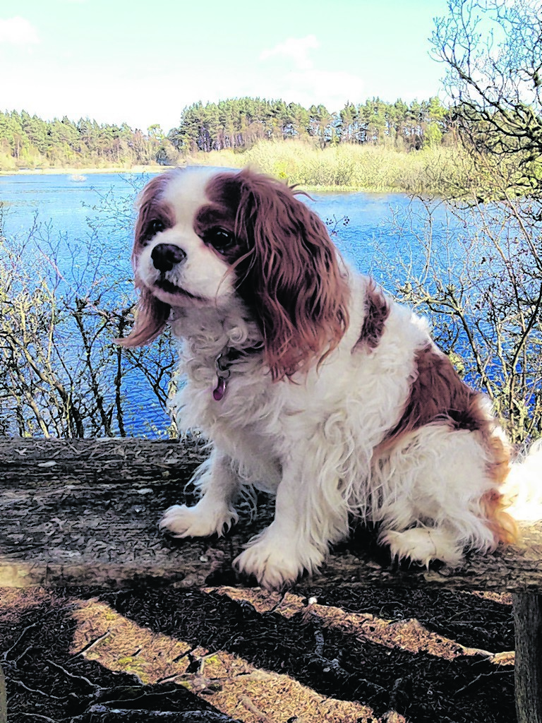 Ollie the cavalier King Charles spaniel lives with Gemma Paterson in Tain