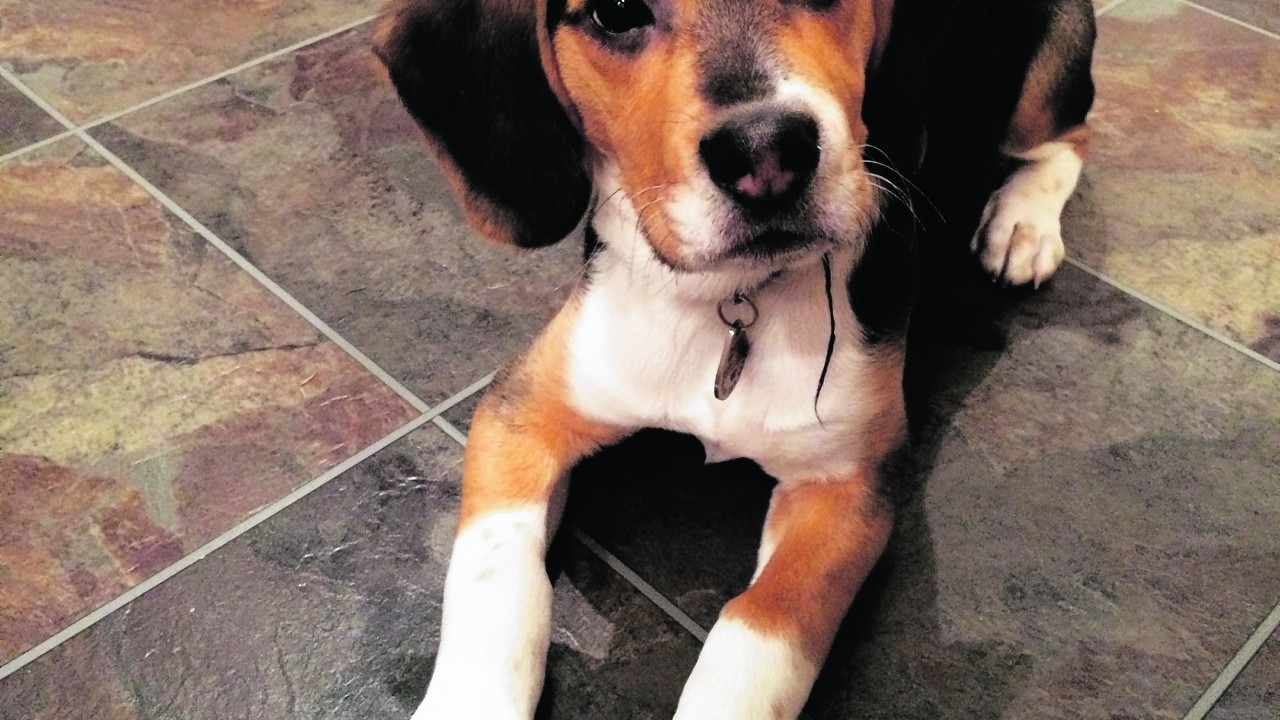 Meet handsome Duke who is a beagle aged 21 weeks. He stays in Kintore with Martin Philip and Suzanne Cowie.