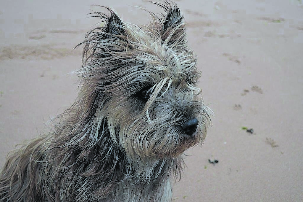 This is cairn terrier, Ivan, studying the seals on the other side of the Ythan at Newburgh beach. He belongs to Alan and Hazel Gordon in Conon Bridge on the Black Isle.