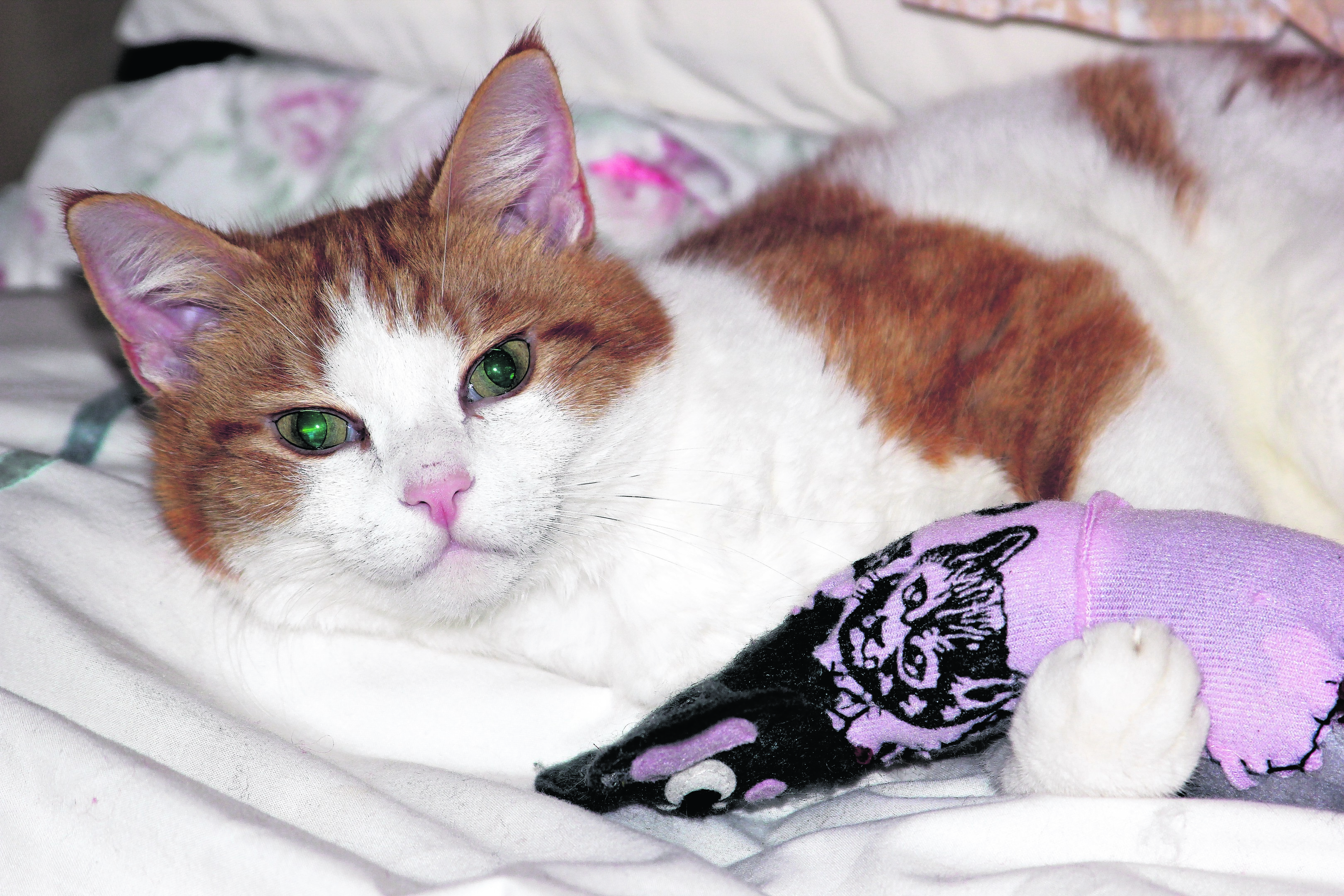 This is Pepsi – a seven- year-old ginger-and-white tom cuddling his favourite toy.  He lives with Karen and Maurice in Mosstodloch. Pepsi is our canvas winner this week.
