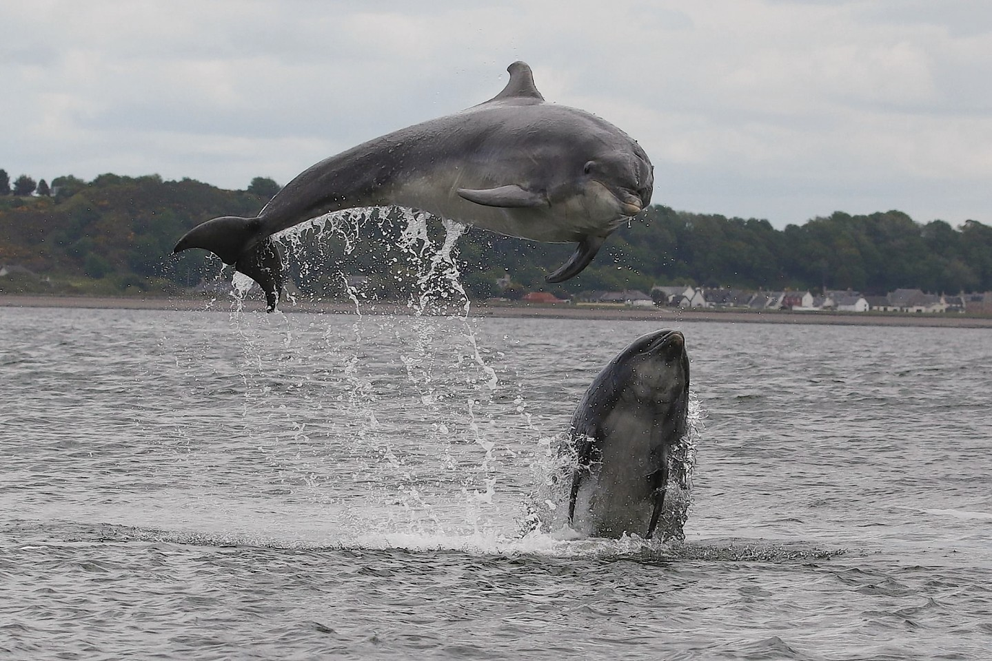 Pictures of dolphins at Chanonry Point, near Fortrose. Pictures by Alister Kemp of Evanton