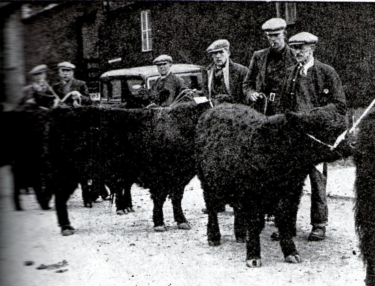 Galloways being shown during the war
