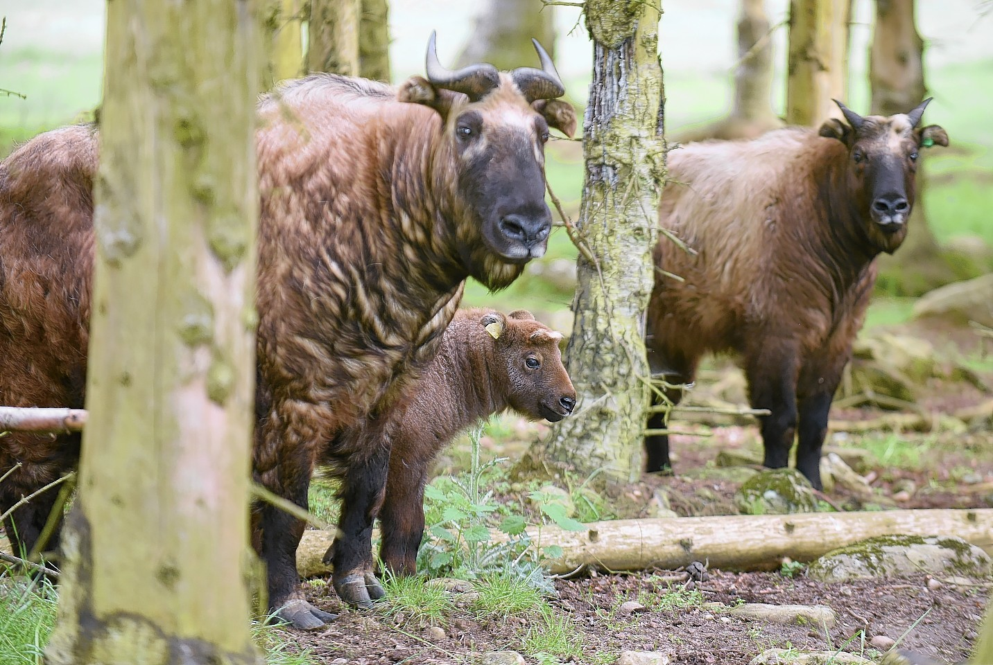The new Mishmi Takin calf photographed with other members of its family at the Highland Wildlife Park, Kincraig