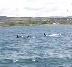 Three of the killer whales filmed near Buckie