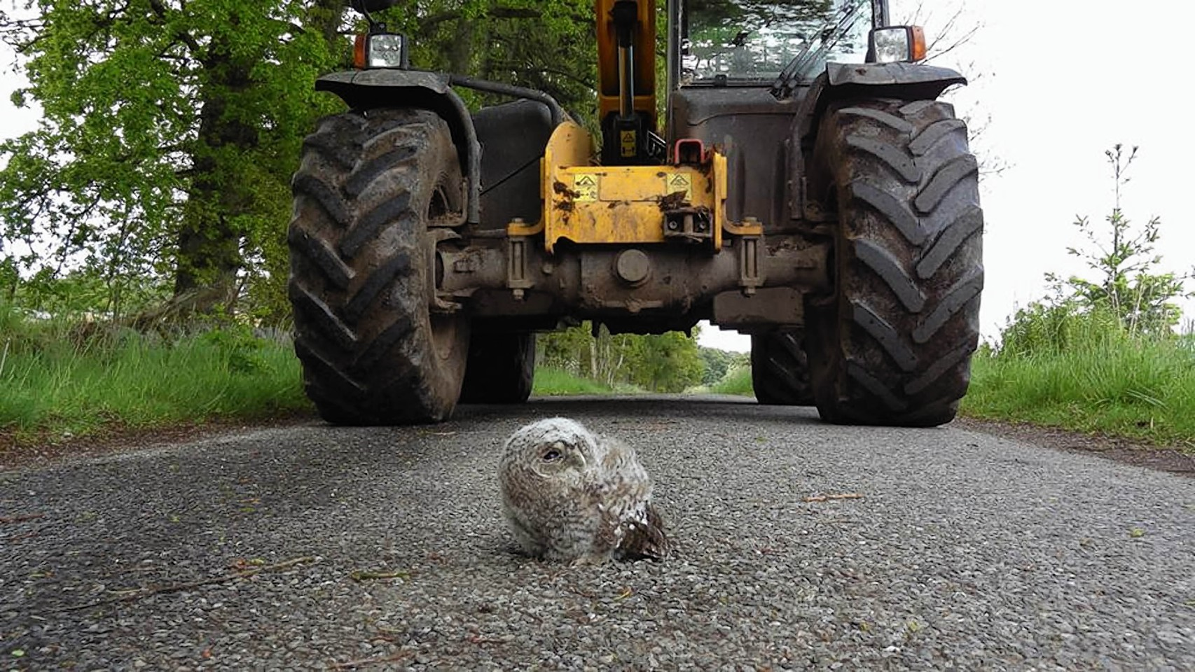 THIS is the moment a 20-ton tractor was stopped in its tracks by a 1lb baby owl.  The stubborn tawny owlet decided to sit in the middle of a single-track road in the hamlet of Dalqueich