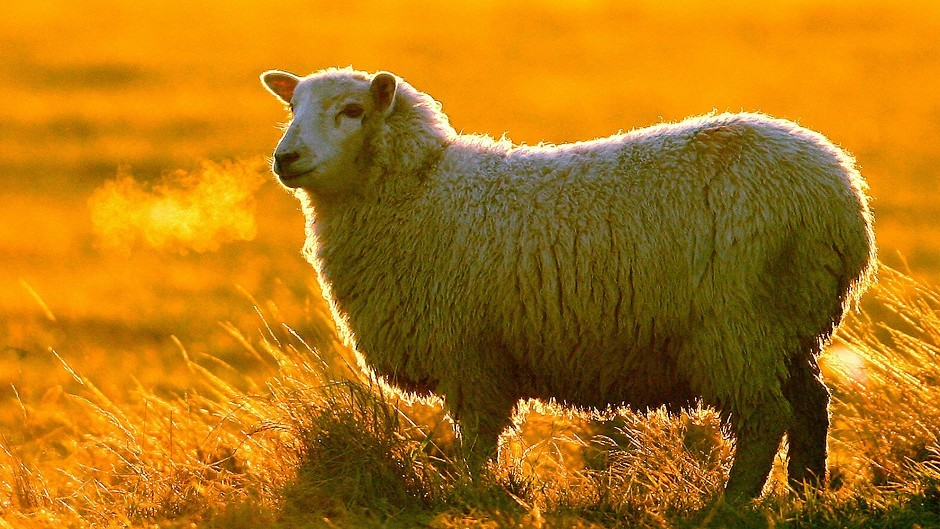 Sheep semen and embryos can now be exported to New Zealand and the USA