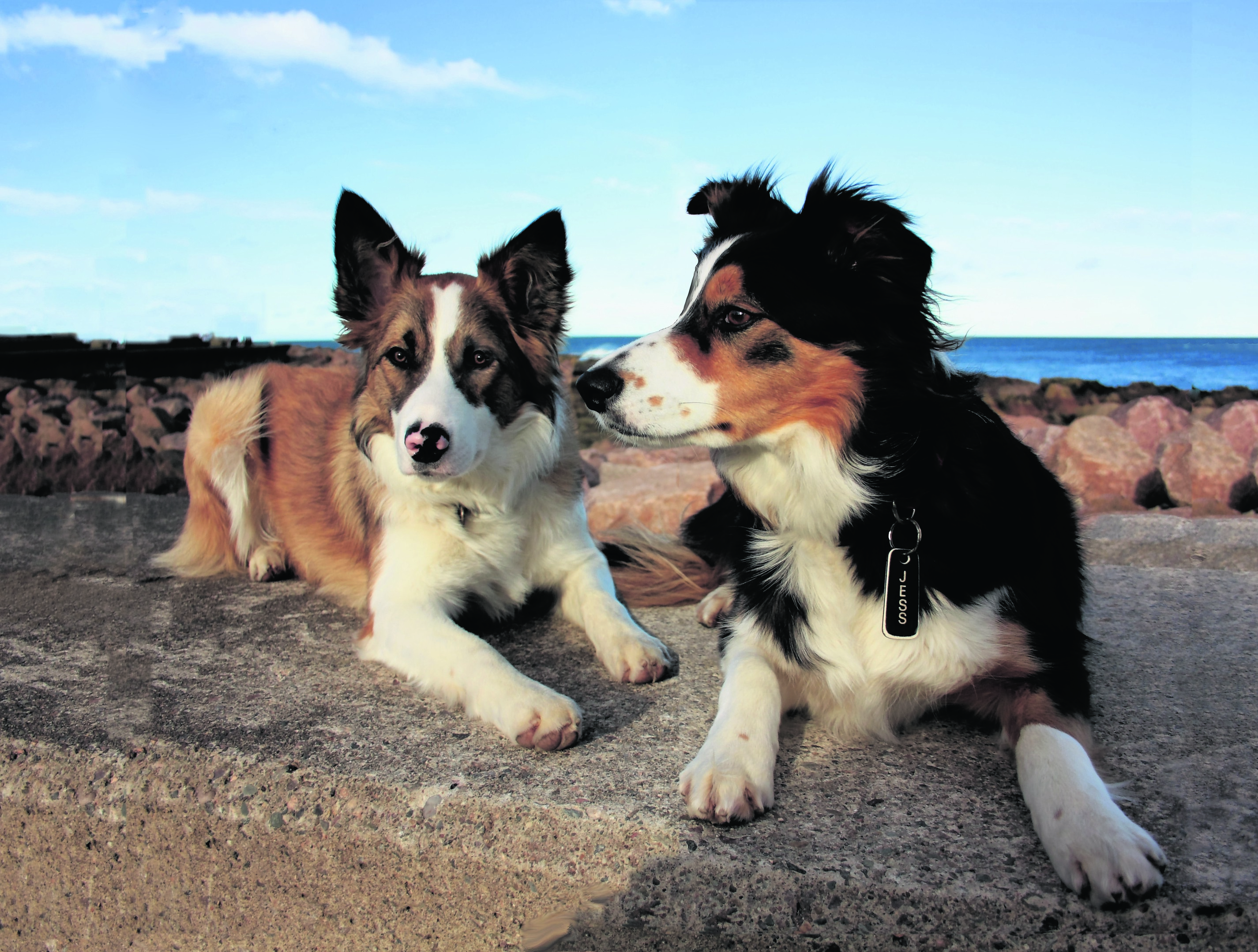 Border collies Bracken and Jess enjoying the spring sunshine at Roanheads, Peterhead. They live with the McDonald family. They are our canvas winners this week.
