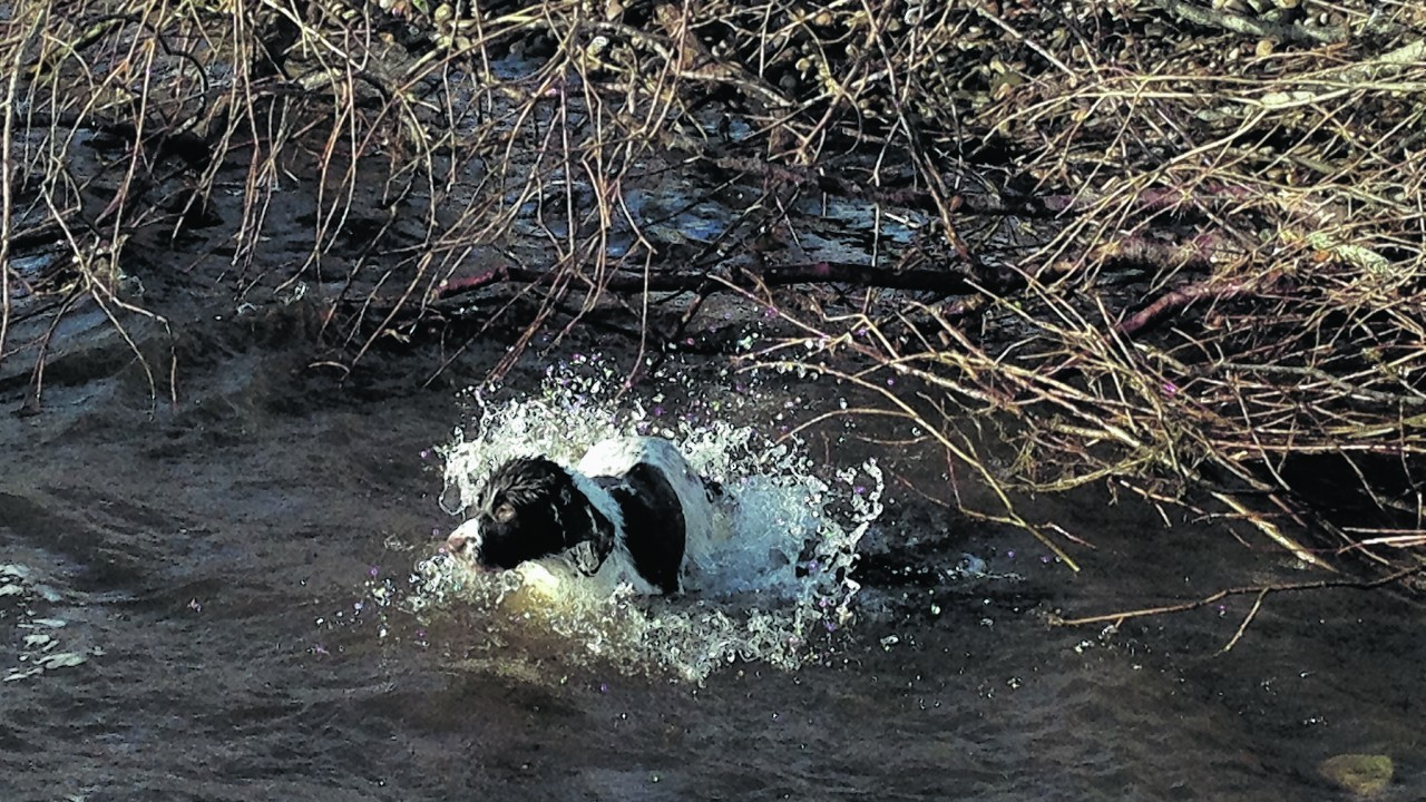 Five year old Maisie lives with Ellie Wilson in Turriff. Here she is having a spring swim at Spey Bay.