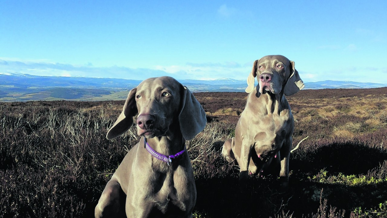 Here are Skye (left) and Biscuit (right), both Weimaraners, on an early morning run to the summit of Hill of Fare.  Lochnagar is in the background. They live with Colin Guy in Torphins, Banchory.