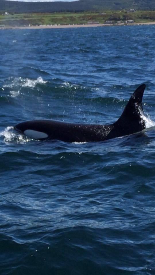 Killer whales off the Moray coast