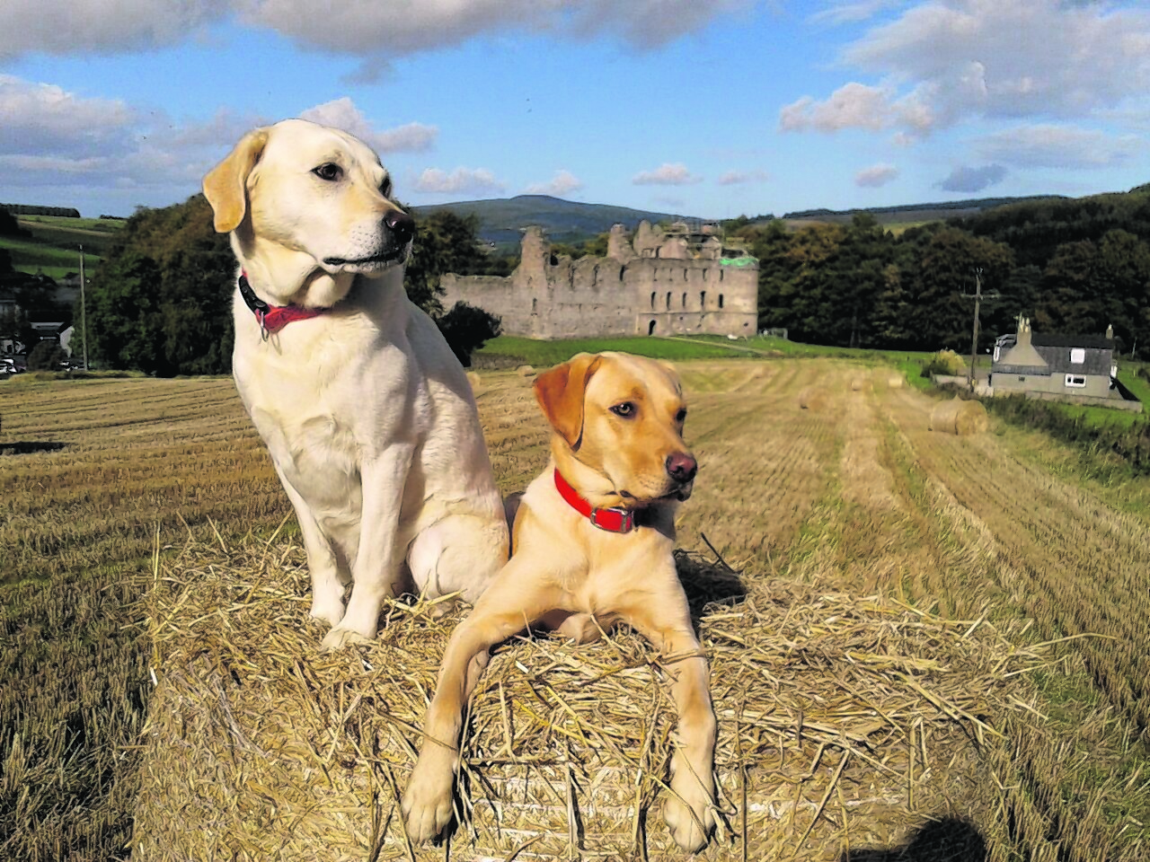 Yellow Labs Heidi and Saffie sitting on a bale with Balvenie Castle, Dufftown, in the background. They live with Carole Riach in Dufftown.