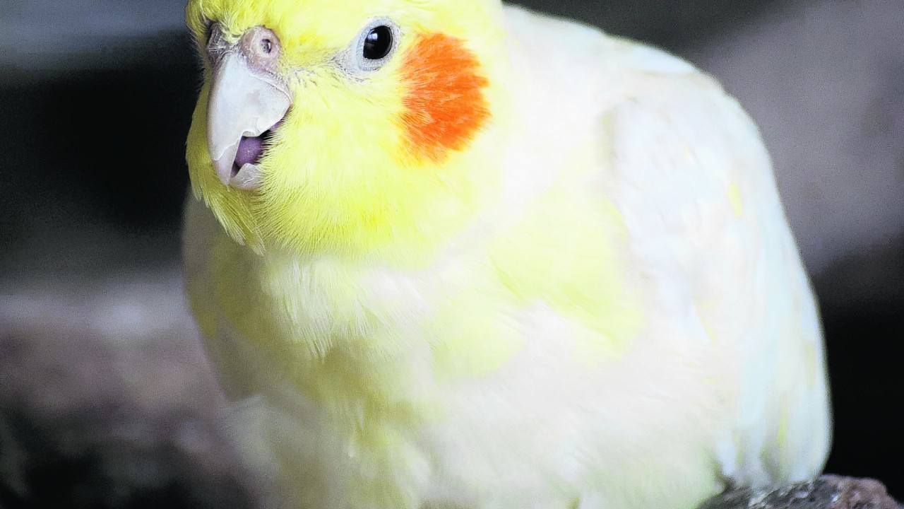 Rex the rescued cockatiel