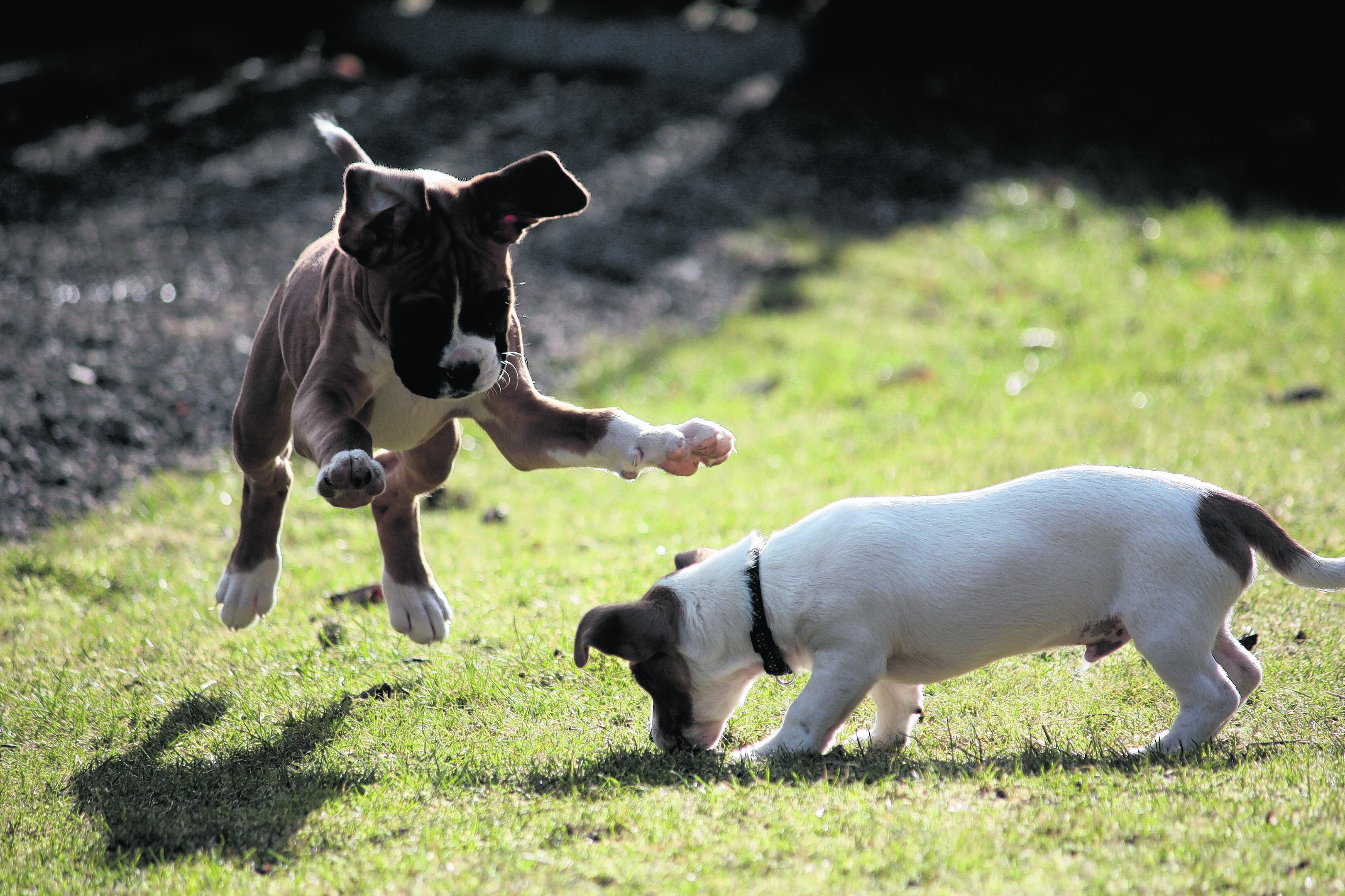 Rio the boxer puppy and Toby the Jack Russell puppy live with Lucy and Jamie Adam at Knock, Huntly. These cute puppies are the canvas winners this week.