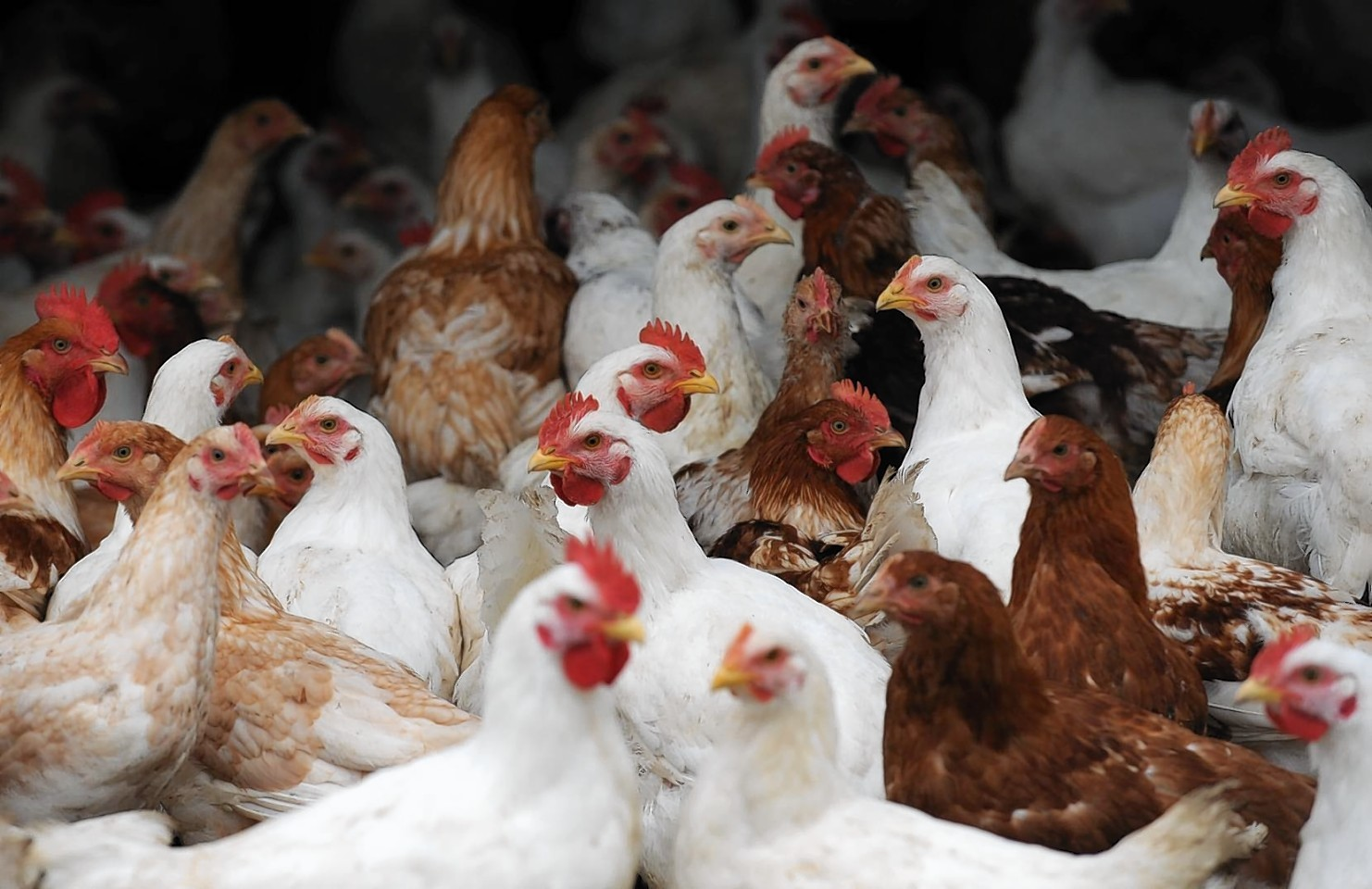 Stock photo: Chickens