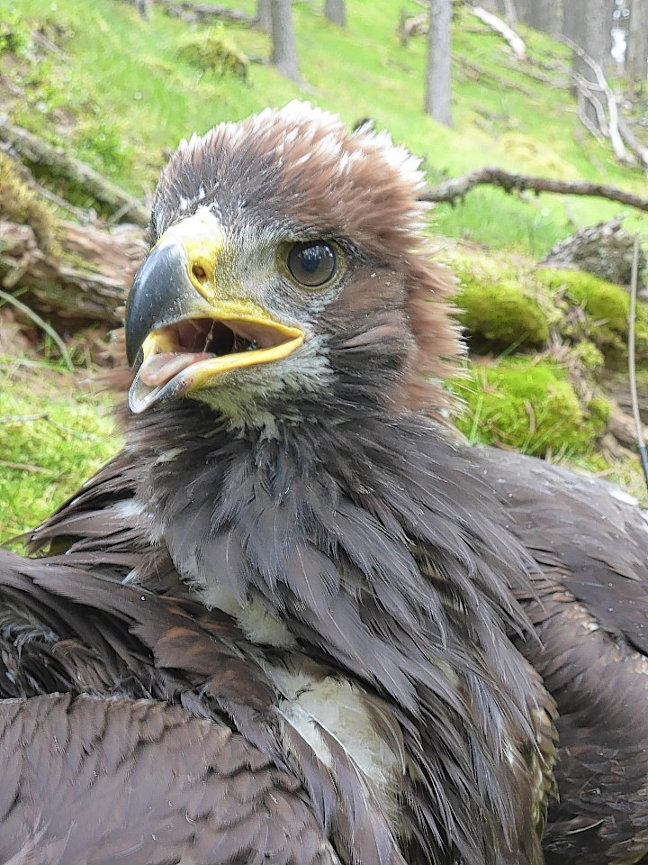 The golden eagles have been brought up in the eastern Highlands