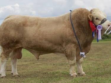 The Simmental and overall beef champion