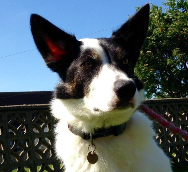 Max the collie