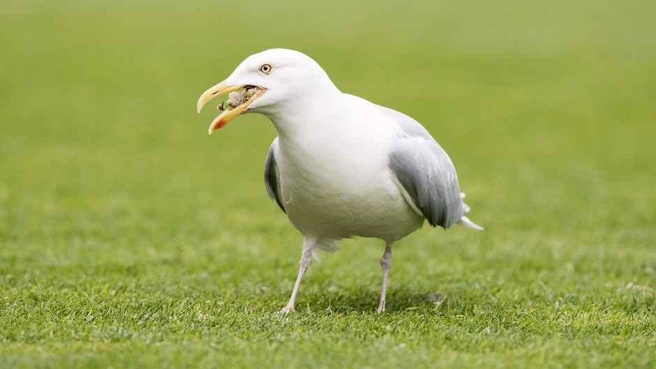 The club are taking anti-gull action
