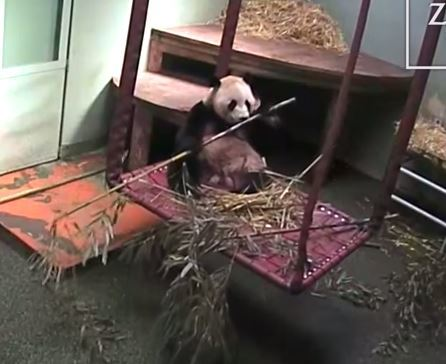 The panda nibbles on some bamboo before getting a fright