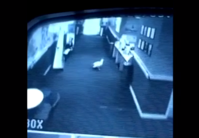 The herring gull walked into the Belmont Cinema and attacked staff