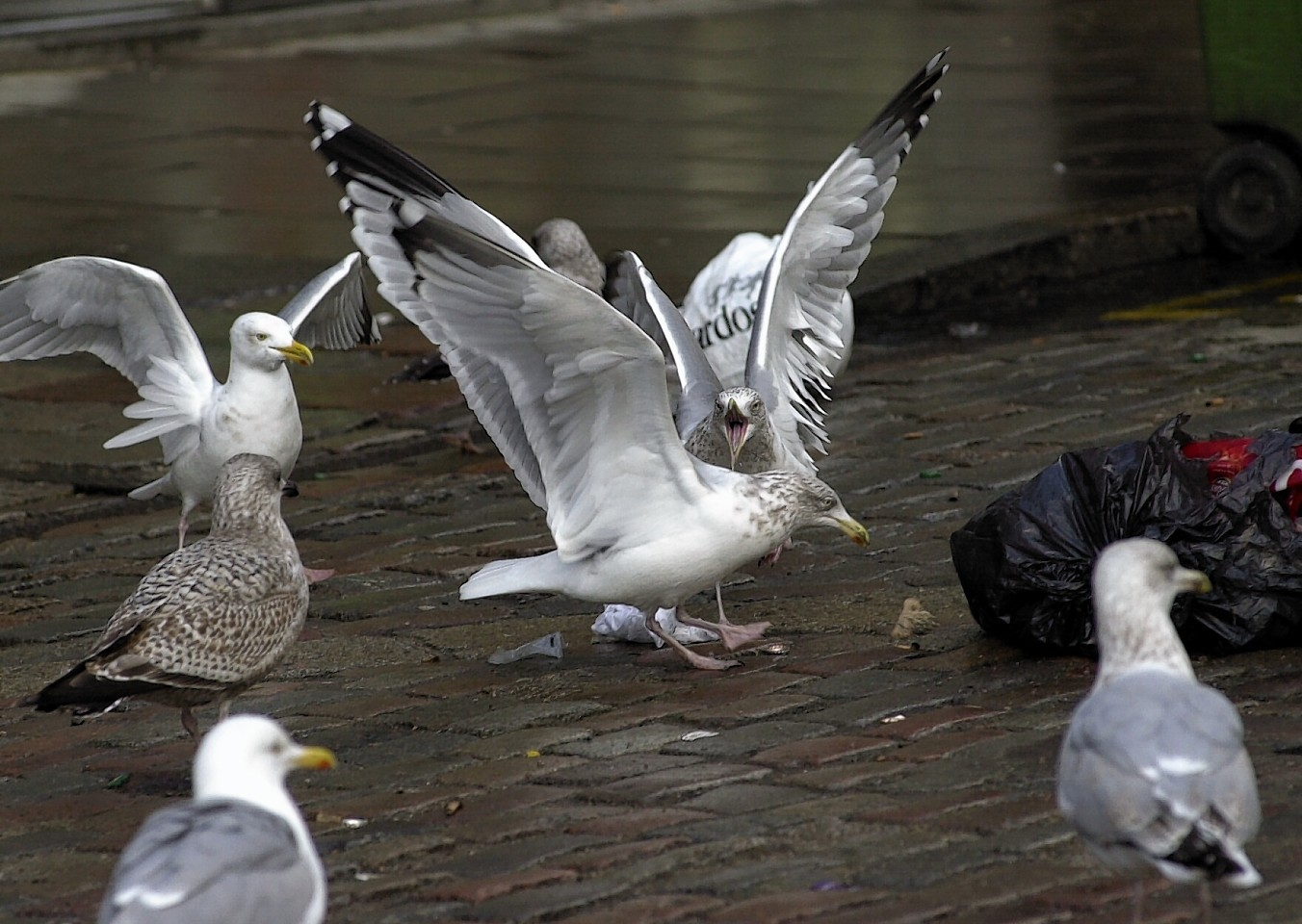 Councillors will discuss the funding for the gull control scheme next week.