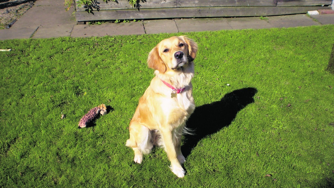 Millie the golden retriever lives with Alistair and Christine in Halkirk, Caithness
