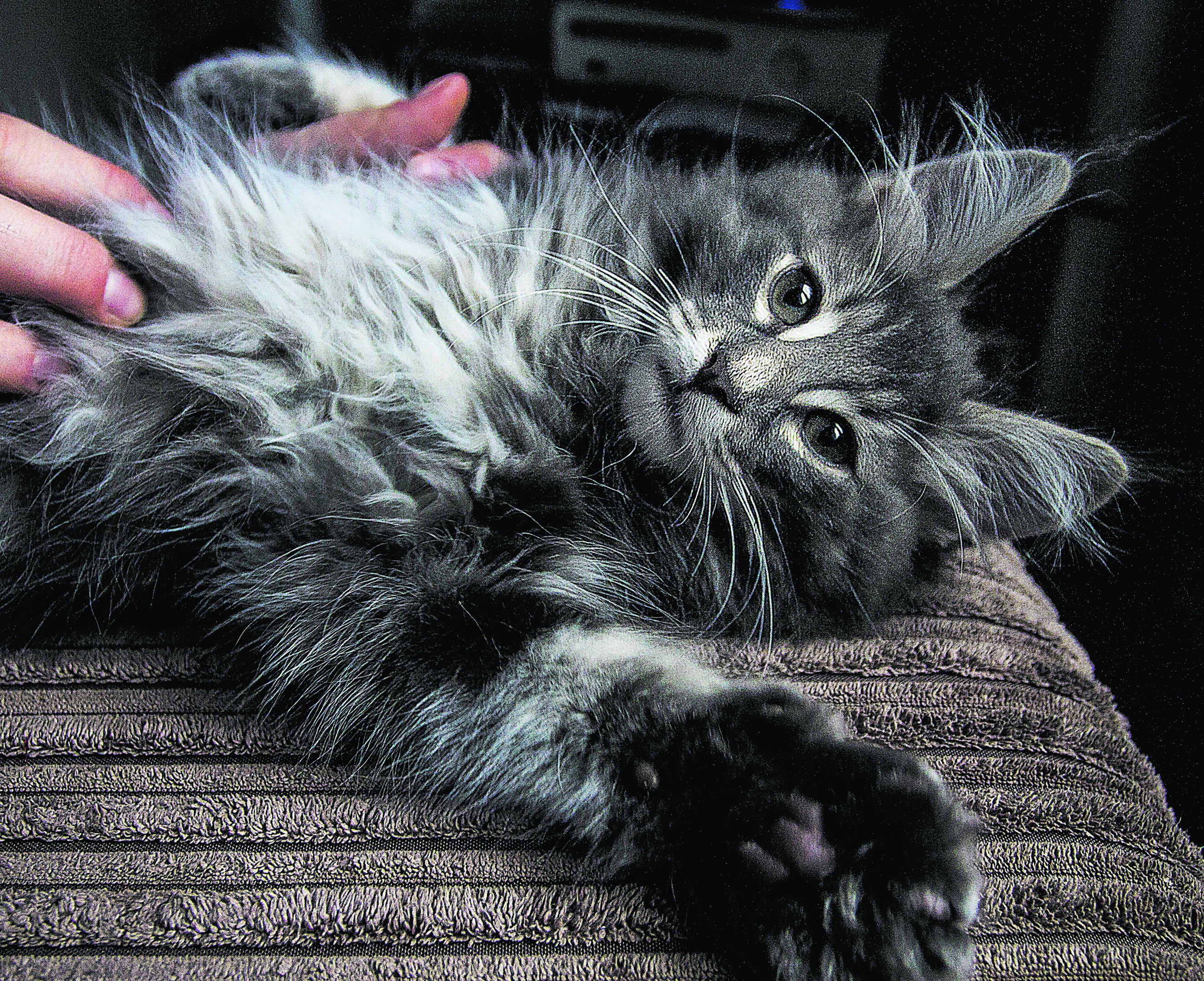 Sarge the Norwegian forest cat and he lives in Aberdeen with his mum Eilidh Sutherland.