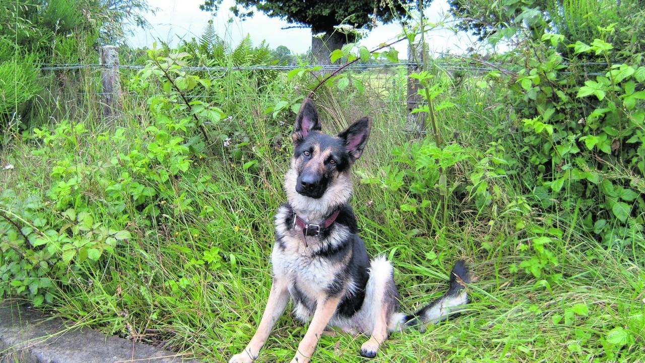 This is Tia the German shepherd. Tia lives with Anne Simpson in Kiltarlity, near Inverness.