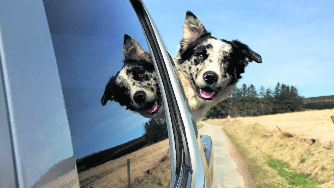 Meet Bruce, the blue merle collie, who lives with Kimberley Webster in Tullynessle, Alford, and is our winner this week.