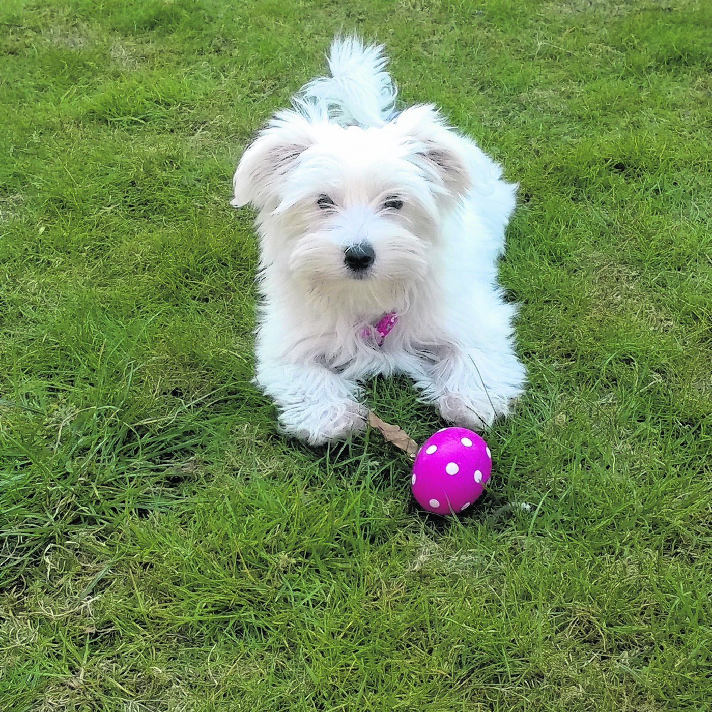 This is Elsa who is 14 weeks old. She is a Breuer Yorkshire terrier and lives with Audrey Mcintosh in Aberdeen.