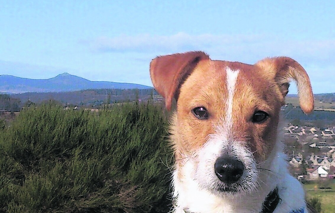 Meet Jock, the 10 month old Jack Russell fox terrier cross, who lives in Kintore with Jenny.