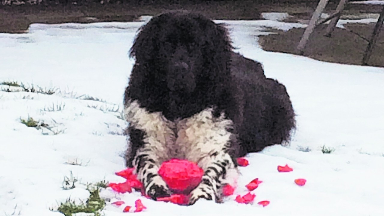 This is Nahla the Newfoundland who lives in Aberdeen with her owners Frank and Sheila Coutts.