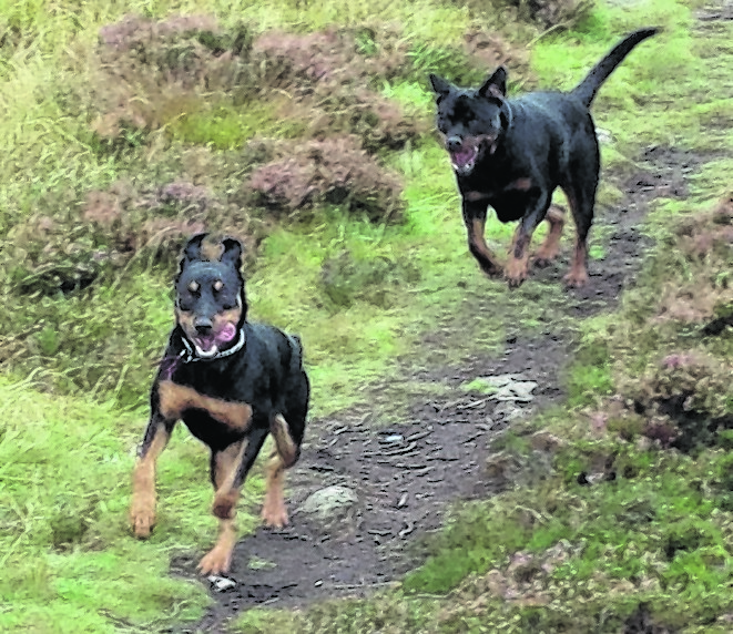 This is Yogi the rottweiler and Blu the rottweiler collie cross having some play time down at Inverdee. They live with Mike Sutherland in Aberdeen.
