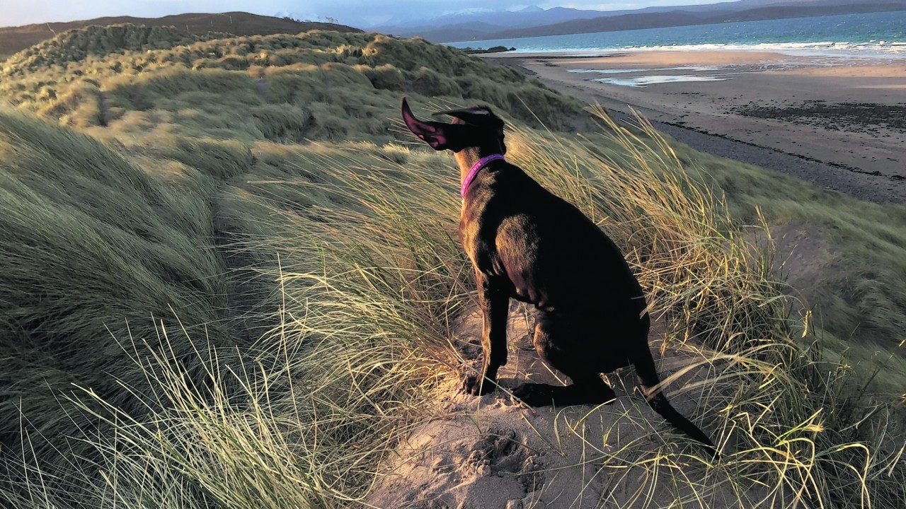 This is Mara on a early morning walk on a very windy Sands Beach, Gairloch. Mara lives with Gillian Strang in Kiltarlity, Inverness