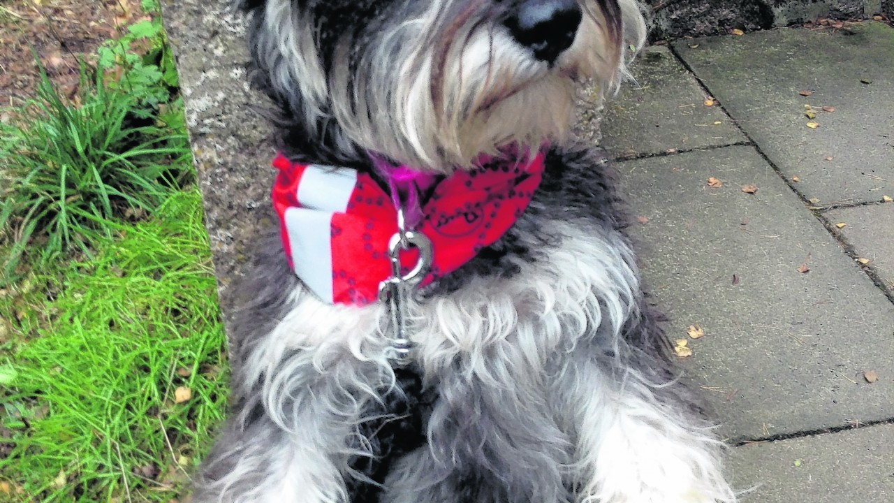 This is Jess, the two-year-old miniature schnauzer at Burn O'Vat. Jess lives with Claire Shinnie in Banchory.