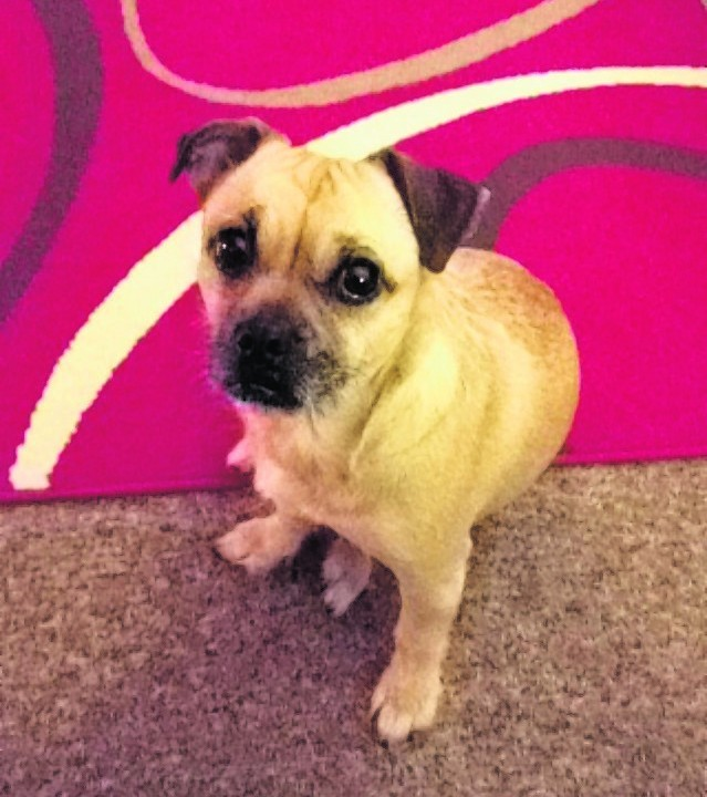 This is Sophie the Jack Russell and pug cross. She stays with Alice and Gordon Lawrence in Fochabers.
