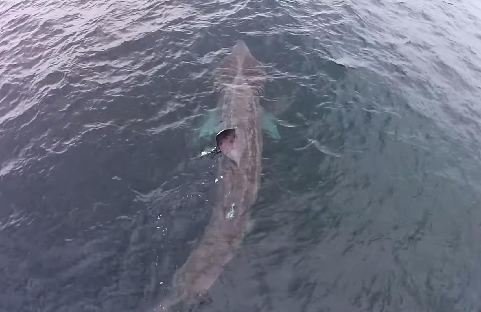 Around 100 basking sharks were spotted in the area