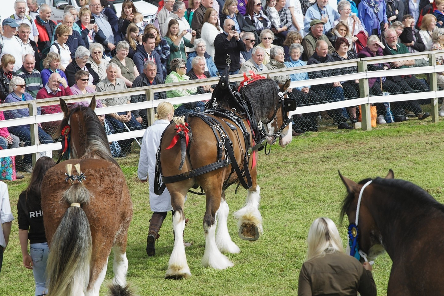 Clydesdales during the grand parade